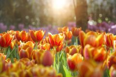 Orange yellow tulips flower field with sun light and lens flare. With blurred purple tulips background Stock Photo