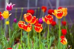 Orange, Yellow Tulips. Orange, Yellow and purple Tulips royalty free stock images