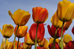 Orange and Yellow Tullips with Blue Sky Stock Image