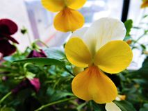 The orange-yellow viola in brown flowerpot royalty free stock images
