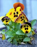 Orange-yellow Viola tricolor with green leaves close-up. Among green plants over blurred background. Yellow petals and dark center of the plant Stock Images