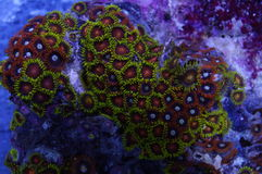 Orange and Yellow Zoanthid Coral. Detail of orange and yellow zoanthid coral polyp colony underwater Stock Photo