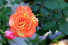 Orange and yellowRose stock image