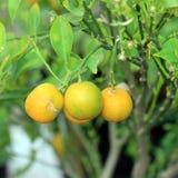 Orange. Young sweet oranges on the orange tree royalty free stock image