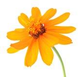 Orange Zahara zinnia Royalty Free Stock Image