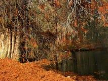 Orange Zeder träd i höst arkivfoto
