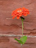 Orange Zinna flower against sandstone wall Royalty Free Stock Photos