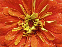 Orange Zinnia Stock Photos