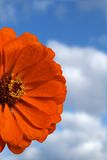 Orange Zinnia. Close-up of orange zinnia flower with sky and clouds in background Royalty Free Stock Photos