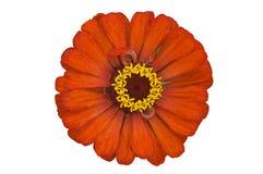 orange zinnia Arkivfoto
