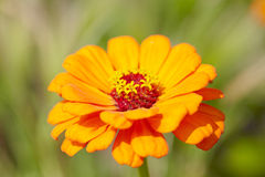 Orange Zinnia Royalty Free Stock Images