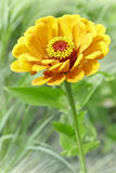 Orange Zinnia Royalty Free Stock Image
