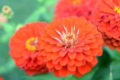 orange zinnia Royaltyfri Bild