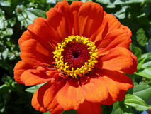 orange zinnia Royaltyfria Foton
