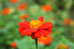 orange zinnia Arkivfoton