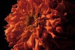 orange zinnia Arkivbilder