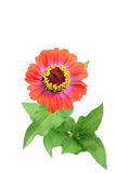 Orange zinnia beautiful flower Royalty Free Stock Photography