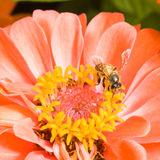 Orange Zinnia with Bee Royalty Free Stock Images