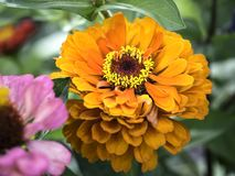 Orange Zinnia blooming, close up photo with details royalty free stock photo