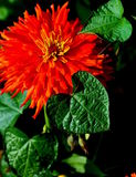 Orange zinnia blossom with heart shaped leaves. A close-up of a bright orange zinnia blossom surrounded by shiny green heart-shaped leaves Stock Photos