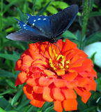 Orange Zinnia and Blue Butterfly Stock Photos