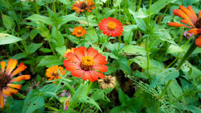 Orange Zinnia-Blumen-Blühen Stockbilder