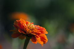Orange Zinnia Royalty Free Stock Photo
