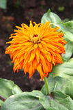 Orange Zinnia Flower Stock Photo