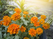 Orange zinnia flower beautiful with sunlight in the garden. royalty free stock image