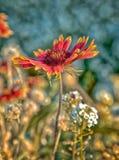 Zinnia flower. Orange zinnia flower and blurred wildflower background Stock Images