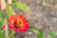 Orange Zinnia Flower at Bottom Left With Soft Light of Sunset Stock Image