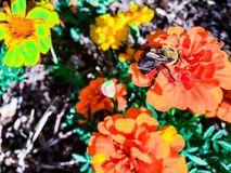 bumble bee on an orange flower Royalty Free Stock Photography