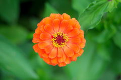 Orange zinnia flower in the garden on a background of green leaves Stock Photos
