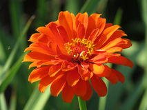 Orange Zinnia Flower in the Green Garden Royalty Free Stock Photography