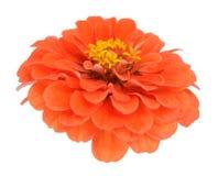 Orange zinnia flower Stock Photo