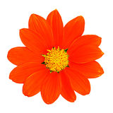Orange zinnia flower Stock Image