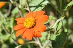 Orange Zinnia flower on the nature background Royalty Free Stock Photography