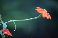 Orange Zinnia Flower After The Rain Stock Image