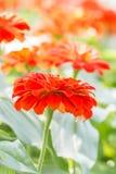 Orange zinnia flower. Stock Photo