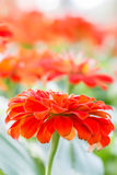 Orange zinnia flower. Stock Image