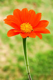 Orange zinnia flower Royalty Free Stock Photography