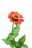Orange zinnia flower Royalty Free Stock Photos