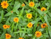 Orange zinnia flowers Royalty Free Stock Photos