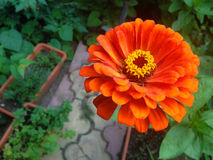 Orange zinnia i trädgård Royaltyfri Foto