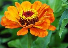 Orange zinnia i trädgården Arkivbilder