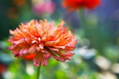 Orange Zinnia. Image of a zinnia in the garden Royalty Free Stock Photography