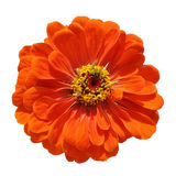 Orange zinnia isolated on white background Royalty Free Stock Image