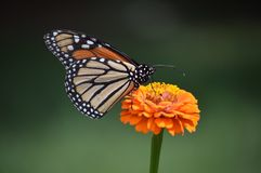 Orange and Green. Orange zinnia and monarch butterfly royalty free stock photos