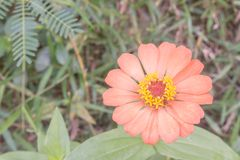 Orange zinniablomma Arkivfoto