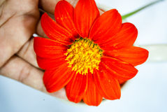 Orange zinniablomma arkivfoton